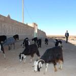 Goat herder and flock, Meski, Morocco