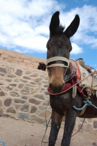 Workhorse at souk