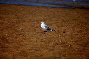 Bird A: A winter black headed gull