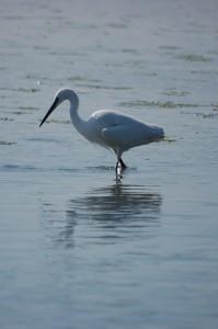 Bird B: A Little Egret