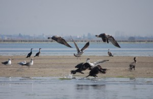 Bird C: Cormorants and Black Headed Gulls