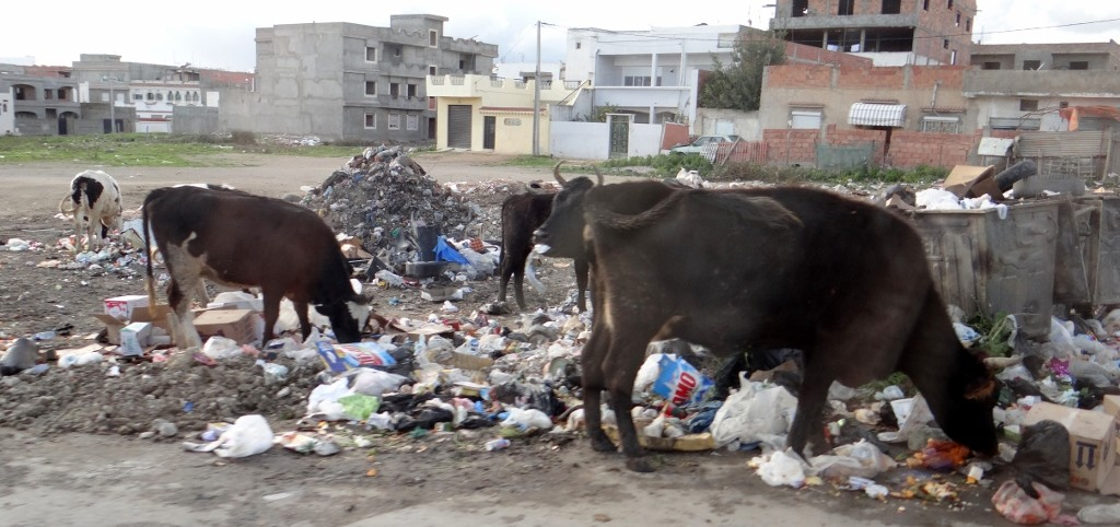 Cows grazing in the rubbish by the roadside - I bet they'd rather be on the motorway verge.