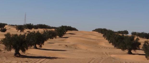 An odd sight, olives in the desert.