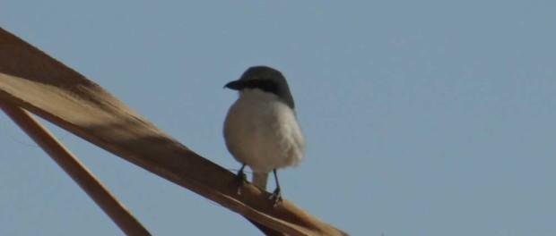 Jerba Bird, taken through Dave's windscreen.