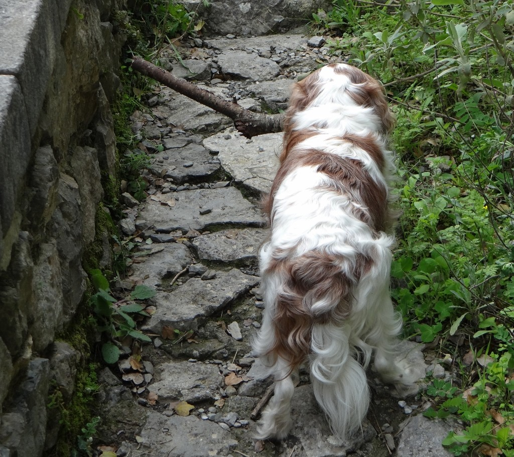 Charlie struggles on his way back with a huge stick