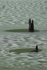 Submerged tree stumps in an icy Lacu Rosu