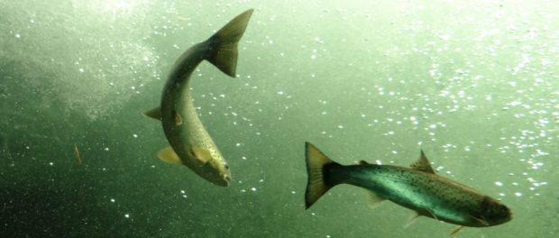 Salmon at Laksestudio, Sand, Norway