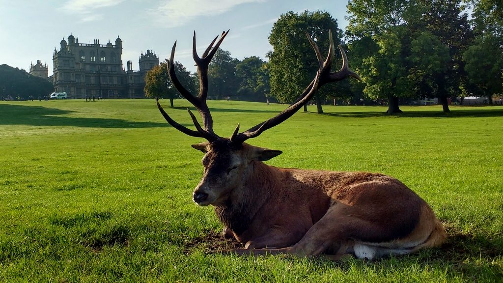 Deer Wollaton Hall Nottingham